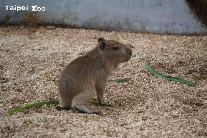 The newborn capybara cub weighs 2,400 kilograms