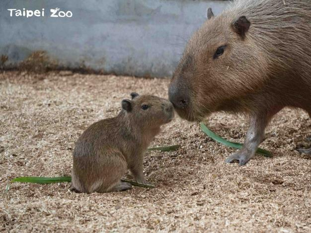 Zookeepers who see it exploring its surroundings along find it adorable