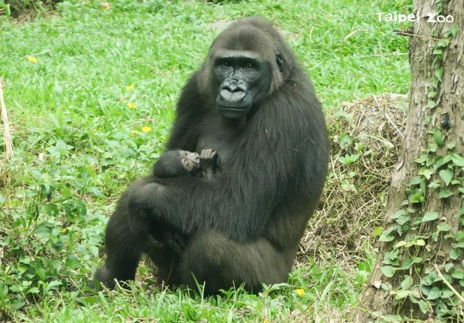 zookeepers stayed overnight beside her and confirmed that Iriki delivered a baby at 152 am on May 28