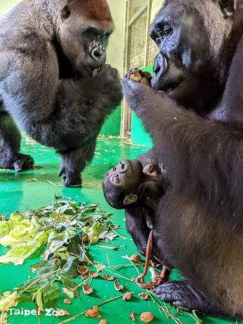 Gorilla Iriki gave birth in the small hours of May 28, with her and the infant both safe and sound