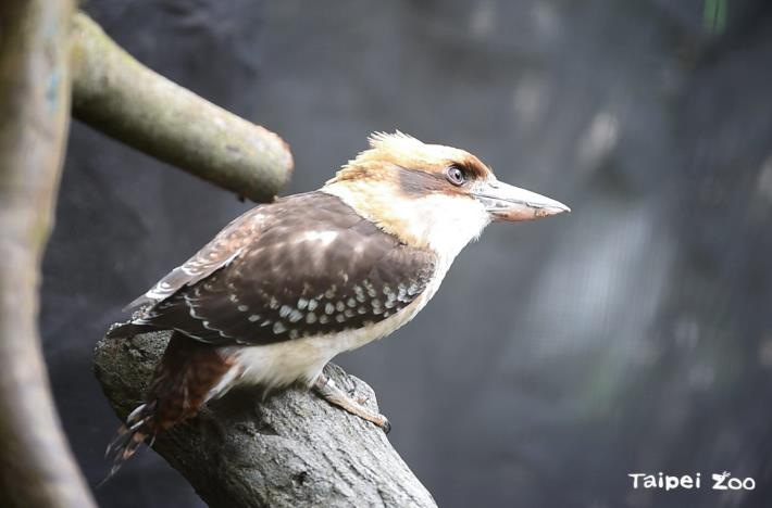 The call of the laughing kookaburra sounds like human laughter
