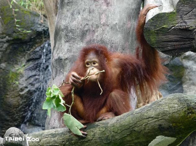 Offer a well-balanced diet for picky eater Pongidae