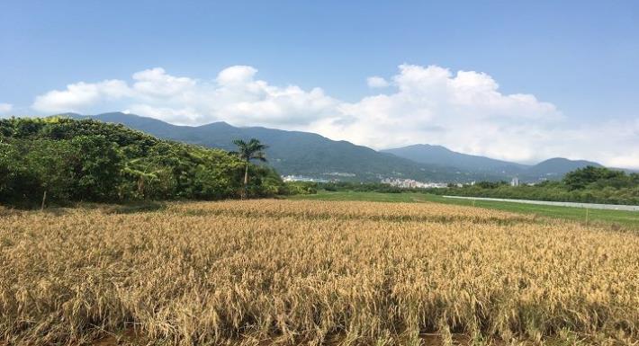 臺北都會區珍貴的稻田