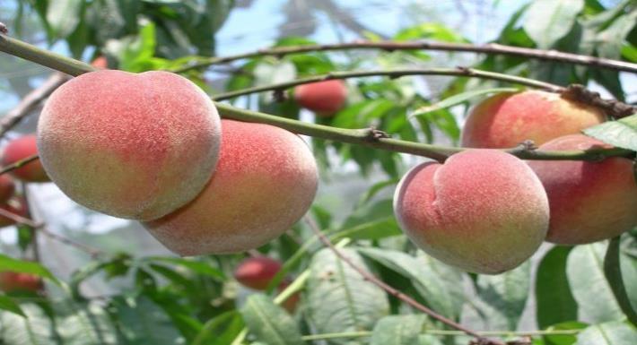 陽明山甜蜜桃採果樂