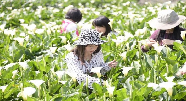 竹子湖海芋季賞遊