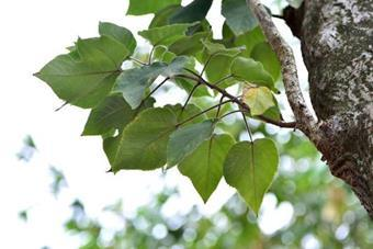 構樹Common Paper Mulberry (Goushu)