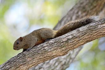 赤腹松鼠	Red-Bellied Tree Squirrel (Chifu Songshu)