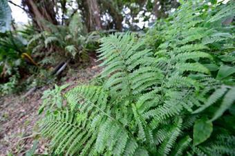 蕨類Ferns