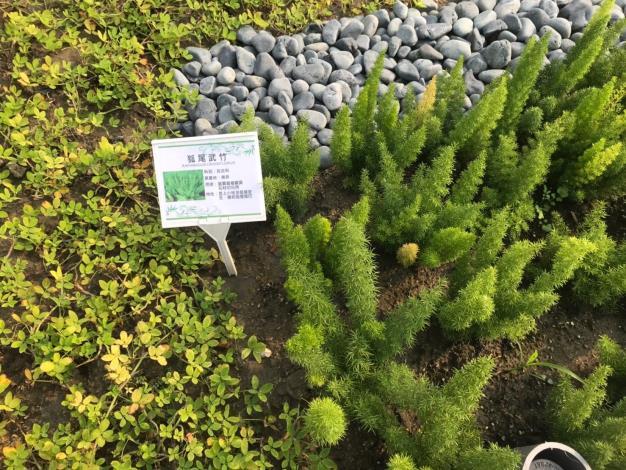 社區植栽--狐尾武竹