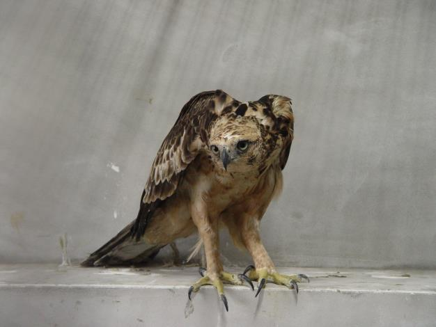 The Hodgson's hawk eagle prior to release[Open in new window]