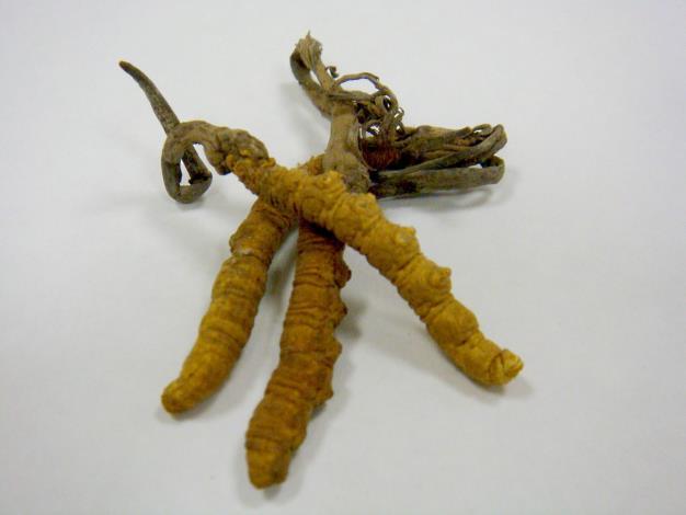 Cordyceps (Chinese caterpillar fungus)