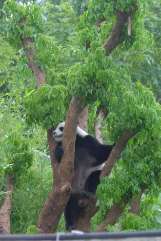 Yuan Yuan is on the tree
