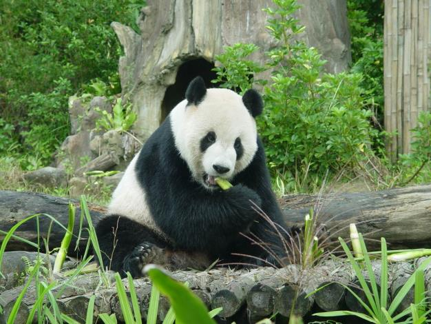 Tuan Tuan loves the water bamboo