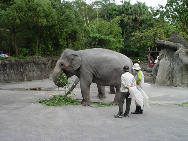 Asian Elephants also enjoy the water bamboo