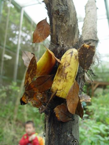 Butterflies feasting on bananas[Open in new window]
