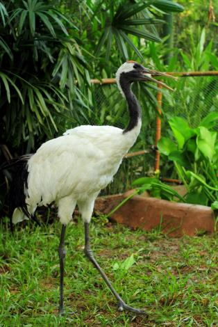 Red-crowned Crane, Big