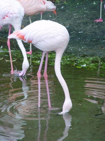 Flamingos feed on plankton and algae