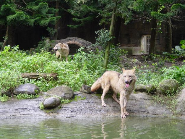 Wolves in Taipei Zoo.