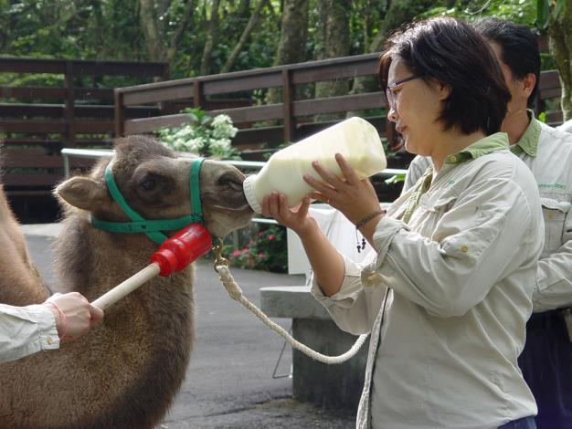 Bactrian camel calf is drinking milk.