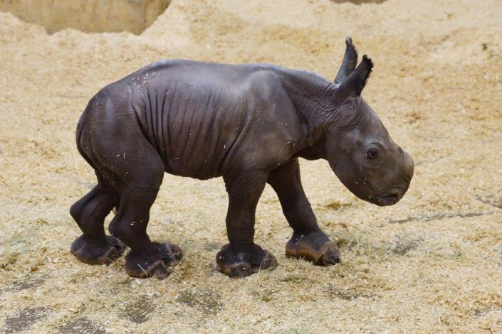 White Rhinoceros Calf[Open in new window]
