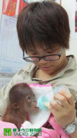 Keepers feeding Orangutan Baby