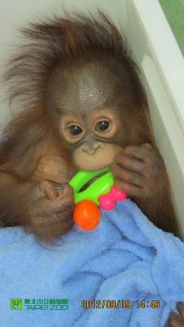 Orangutan baby cover by towel