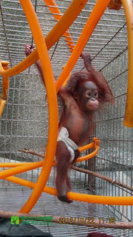Orangutan claiming
