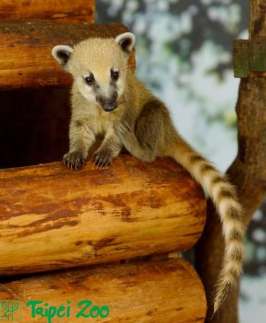 South American Coati[Open in new window]