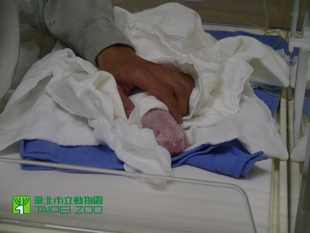 Newborn Giant Panda[Open in new window]