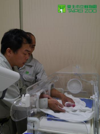 Checking newborn Giant Panda