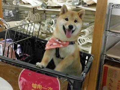 16 Shiba Inu Dogs for Adoption at Taipei Animal Shelter