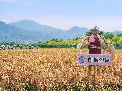 Hands-on with Rice Harvesting at Guandu Plains