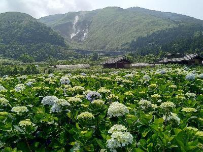 Hydrangeas Bloom to Follow White Calla Lily Flowering Period at Zhuzihu