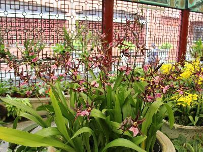 Soothing Dancing Lady – Shilin Residence Oncidium Orchid Show