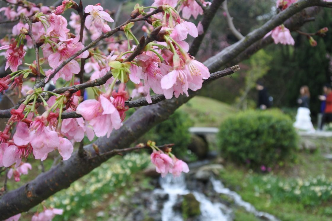 Cherry blossom on Yangmingshan is in full bloom.
