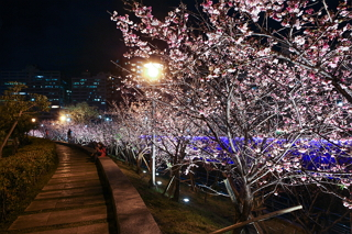 2017 Yangmingshan Flower Season: Camellia Fest and Illuminated Cherry Blossoms at Night