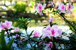 Introducing the 2017 Taipei Azalea Festival