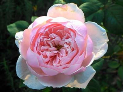 Immersed in Rosy Beauty: The Taipei Rose Garden 2017 Spring Exhibition