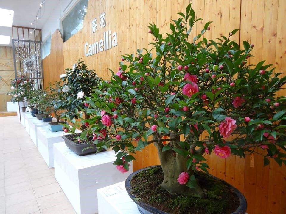 2018 Taipei Camellia Show: Celebrating the Beauty of Camellia