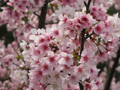 Yangmingshan Flower Festival features a wide variety of cherry blossoms
