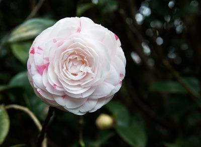 Taipei Camellia Show: A Feast of Blooms Starting January 11