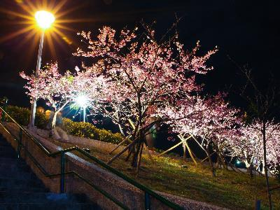 Enjoy Sakura in Full Blooms at the 2019 LOHAS Night Cherry Blossom Festival