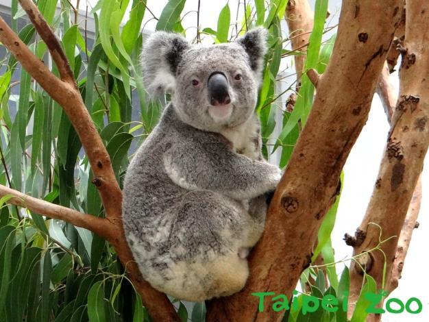 Photo of koala
