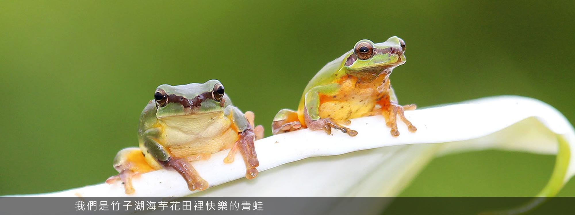 我們是竹子湖海芋花田裡快樂的青蛙