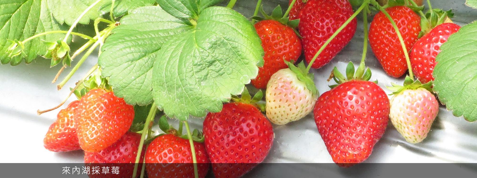 來內湖採草莓