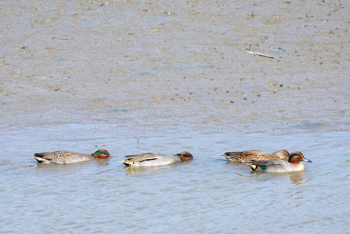 淡水河流域的小水鴨全盛時期可達上萬隻以上,然而近20年來數量遽減不到千隻