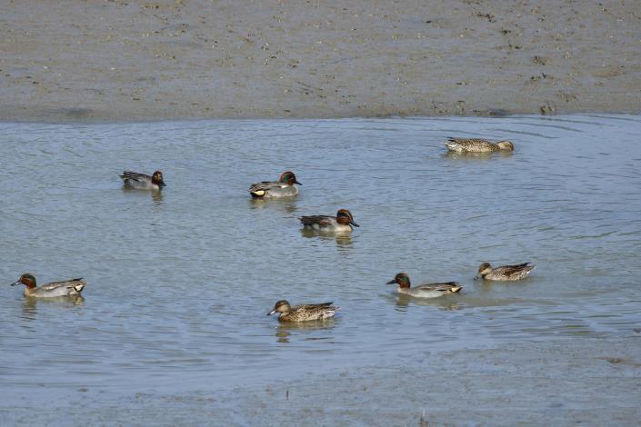 小水鴨呼朋引伴的大駕光臨社子島濕地,令人驚喜不已!