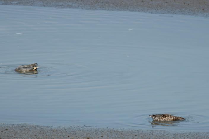 小水鴨倒頭栽覓食 模樣十分可愛
