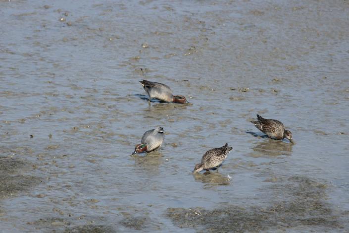 小水鴨泥灘啄食