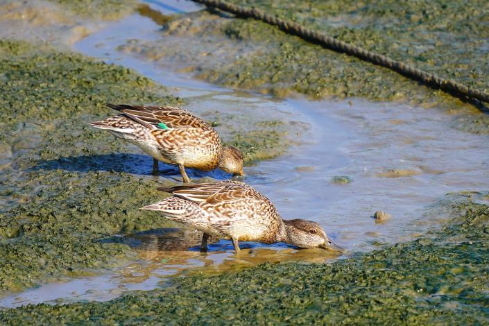 周末假日到社子島濕地一遊,可到解說小築來認識可愛的小水鴨。